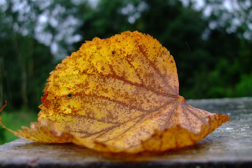 Yellow leaf | by yvie.cee