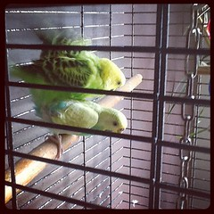Sex of parakeets