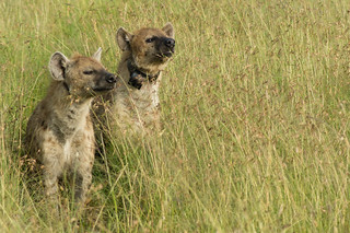 Two Hyenas | by Greg McMullin