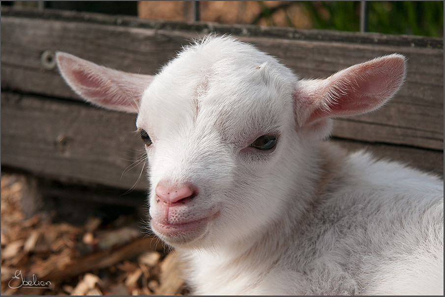 R Goats Baby goat | 78/366 | -...