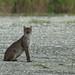 Bobcat 20121005