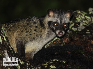 Common Palm Civets in Siglap Estate | by kwokwai76