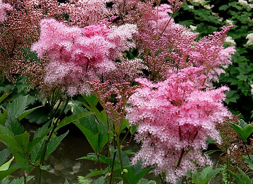 Meadow Sweet Bernard Spragg Nz Flickr