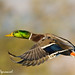 Mallard in Flight - IMG_8547