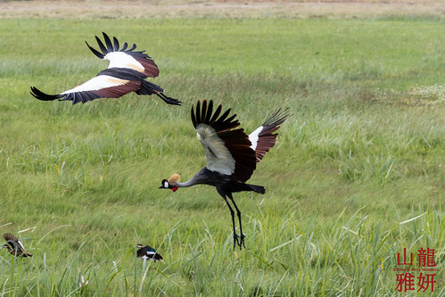Grey Crowned Cranes in flight | by DragonSpeed