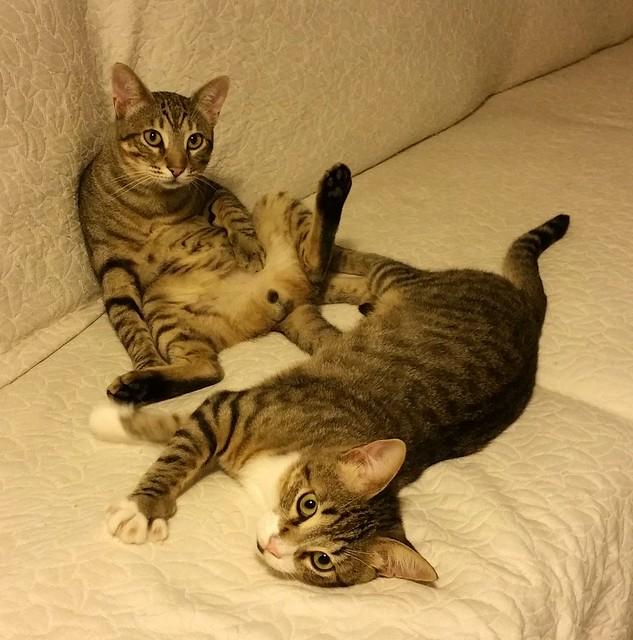 Cotton y Cobby, gatos pardo y blanquipardo inseparables, nacidos en Febrero´15, necesitan adopción Conjunta. Valencia. 29534904656_a250db3f23_z