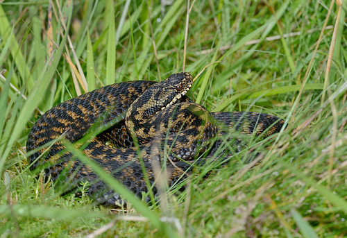 D300266 European Adder | by Nick Sidle