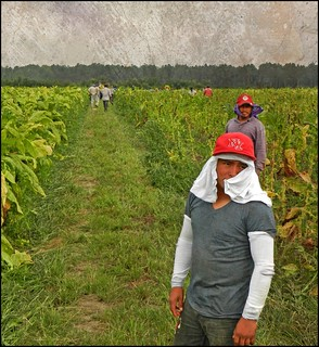 Harvesting Tobacco--The Work Begins:  Wiggins Crossroads, Edgecombe County, North Carolina | by EdgecombePlanter