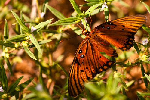 Early September Butterfly | by Scott Dunson