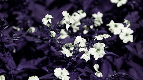 White Flowers with purple background | by Rhiannon Hodge