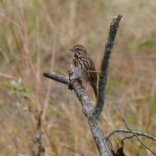 Song Sparrow | by Dendroica cerulea