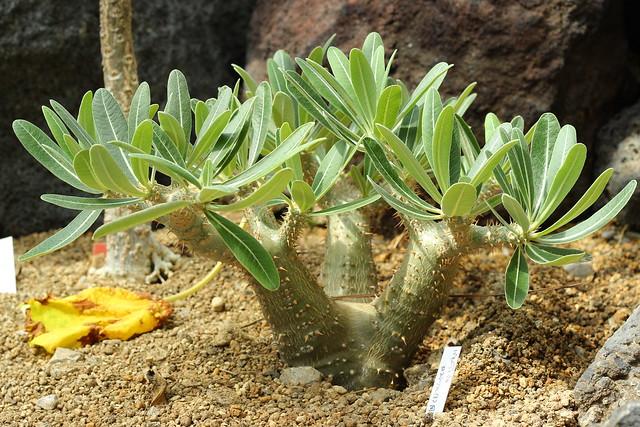 Pachypodium rosulatum(?)