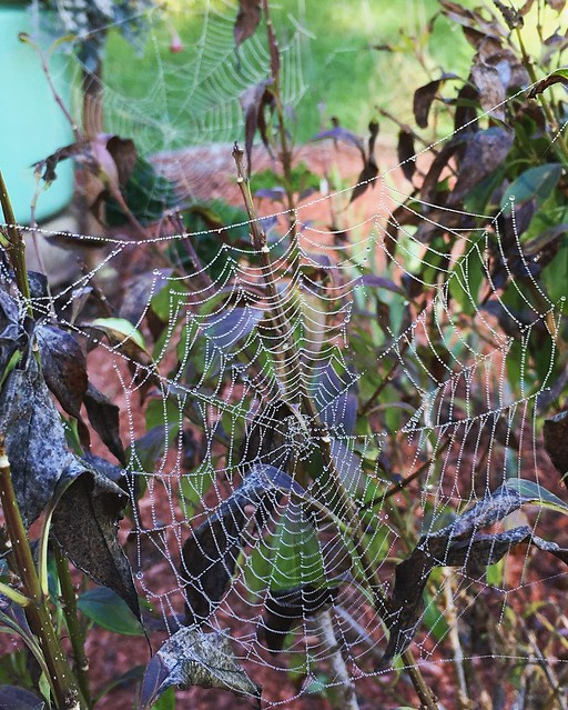 Cobwebs on the struggling forsythia I put in this summer. Hope it bounces back next spring.