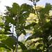 Waneta Plum Tree Leaf Damage
