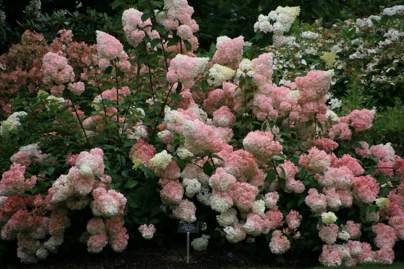 rhs garden wisley hydrangea paniculata vanille fraise 39 re flickr. Black Bedroom Furniture Sets. Home Design Ideas