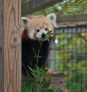 Red panda 10 | by Podsville