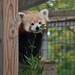 Red panda 10