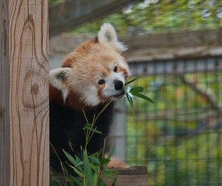 Red panda 09 | by Podsville