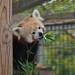 Red panda 09