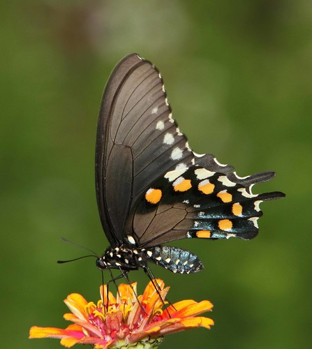 Pipevine Swallowtail (Battus philenor) | by AllHarts