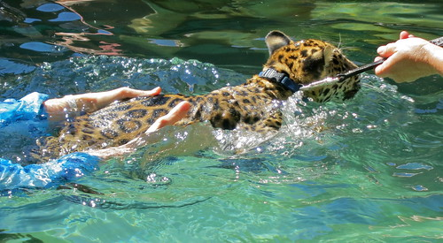 Swimming with Baby Jaguars | by jurvetson