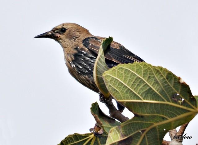 Estorninho preto. Sturnus vulgaris