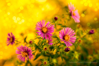 Wild Pink Asters | by fesign