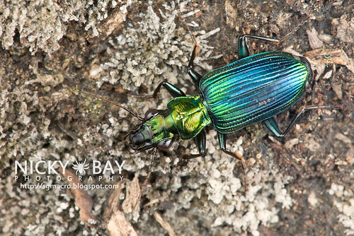 Ground Beetle (Catascopus dalbertisi) - DSC_6422 | by nickybay