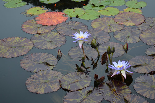 Tropical Water-Lily | by Brooklyn Botanic Garden