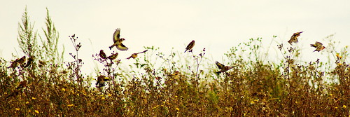 Flock of goldfinches | by P_1_B