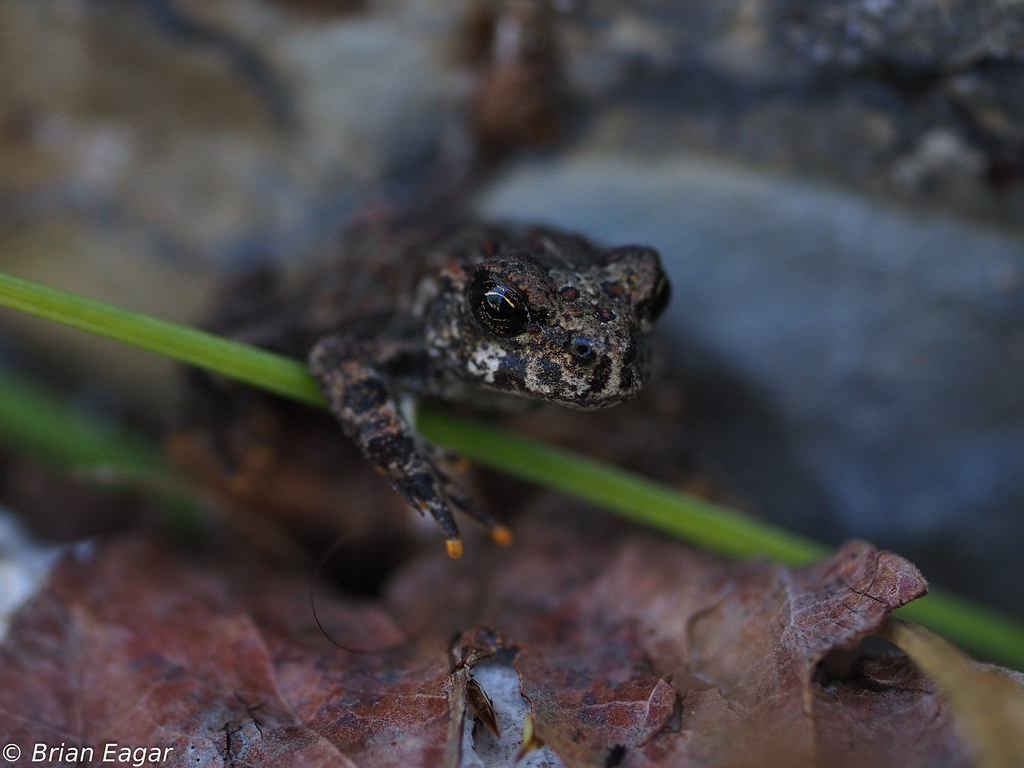 Baby boreal toad explored 8 29 2016 found a bunch of these flickr baby boreal toad by brian eagar very busy not much time to comment sciox Image collections