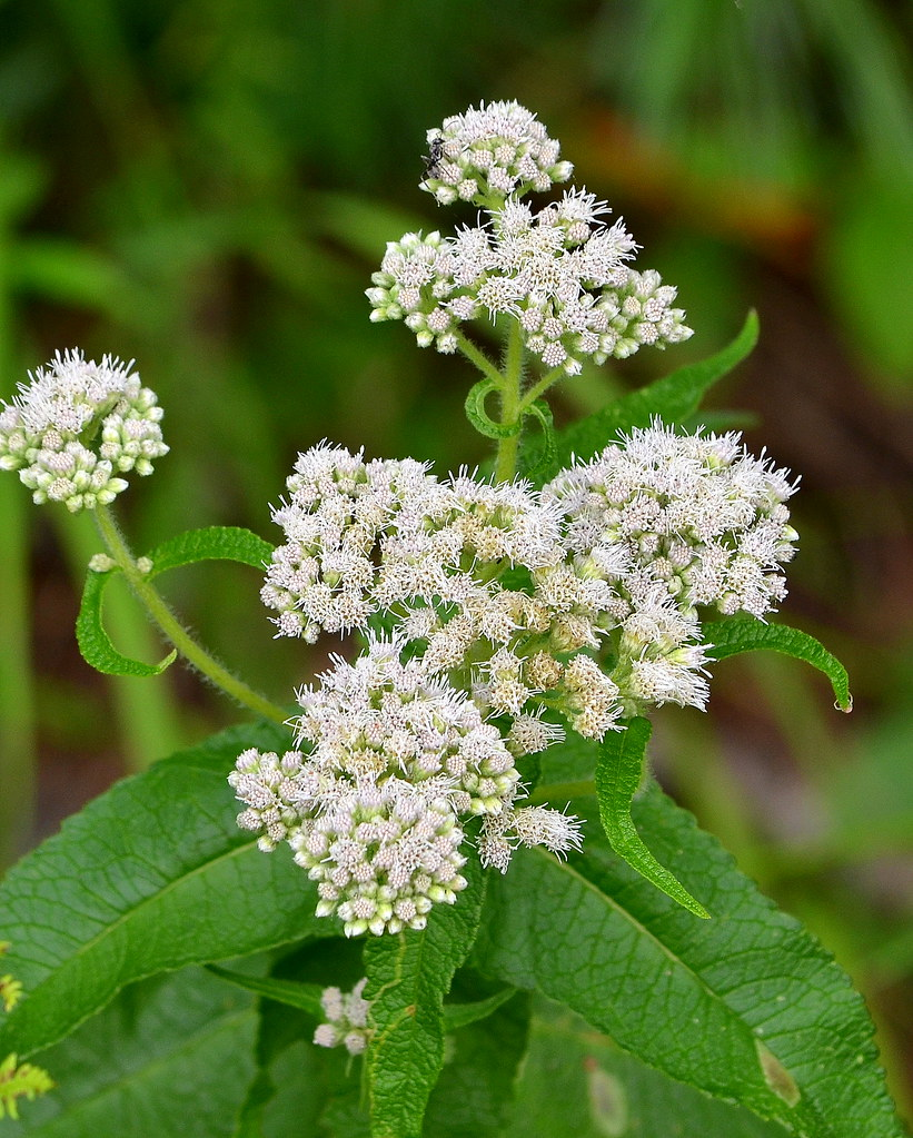Joe-pye Weed with WHITE flowers | Seen growing near a trailh… | Flickr