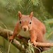 Red Squirrel Cairngorms NP