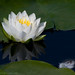 Waterlily reflection and a downy feather