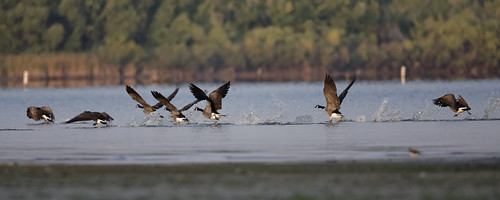 Canada Geese Take Off in Morning Sun | by dcstep