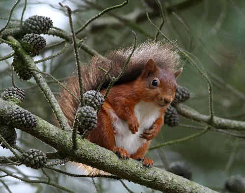 Red Squirrel | by Hilary Chambers (not going out much!)
