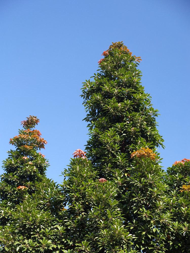 Elaeocarpus eumundi | ...