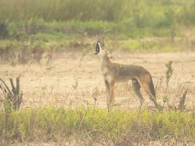Barking Coyotes - 1