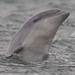 BND Bottlenose dolphin (Tursiops truncatus) 03 Sep-12-43615
