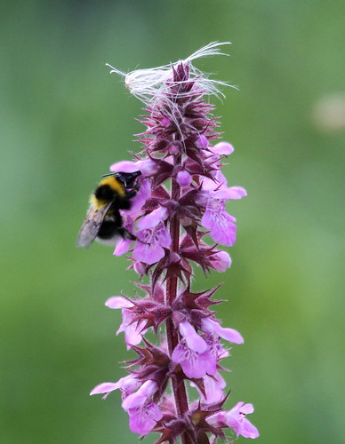 2012_08_14 CUL - Buff-Tailed Bumble Bee (Bombus terrestris) | by Oretani Wildlife (Mike Grimes)