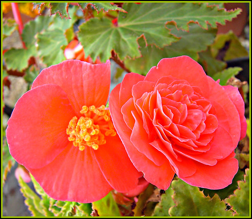 Pair Of Red Begonias! | by 'cosmicgirl1960' NEW CANON CAMERA