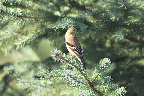 Female Goldfinch Sitting On Branch of Spruce Tree | by Chrisser