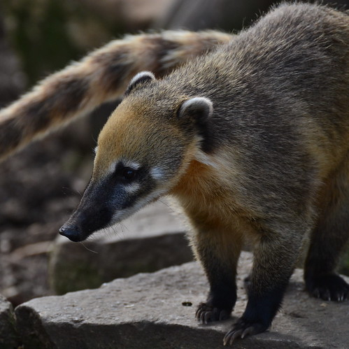 Coati | by brennivin.