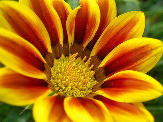Gazania | by s.kosoris