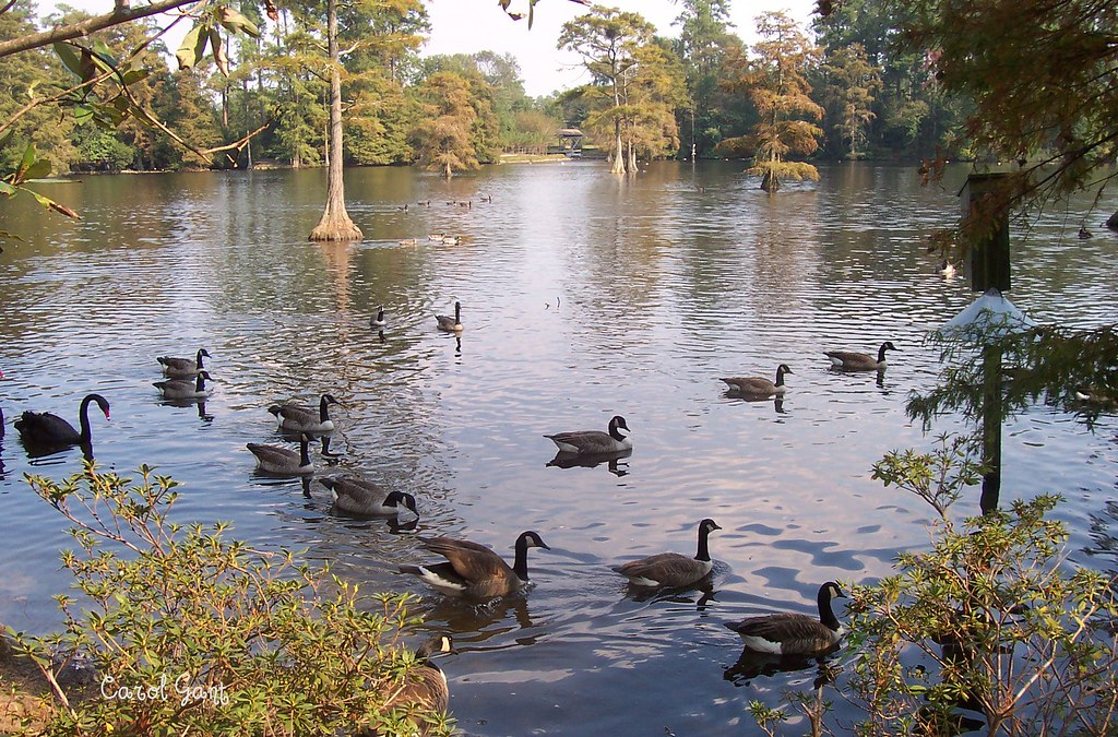 Geese at Swan Lake in Sumter, SC | Looks like a swan bringin ...