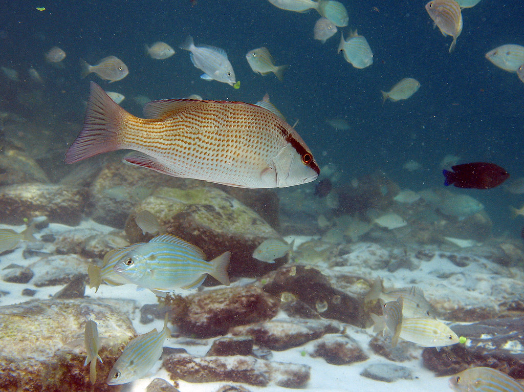 gray snapper amp pinfish destin florida destin jetties