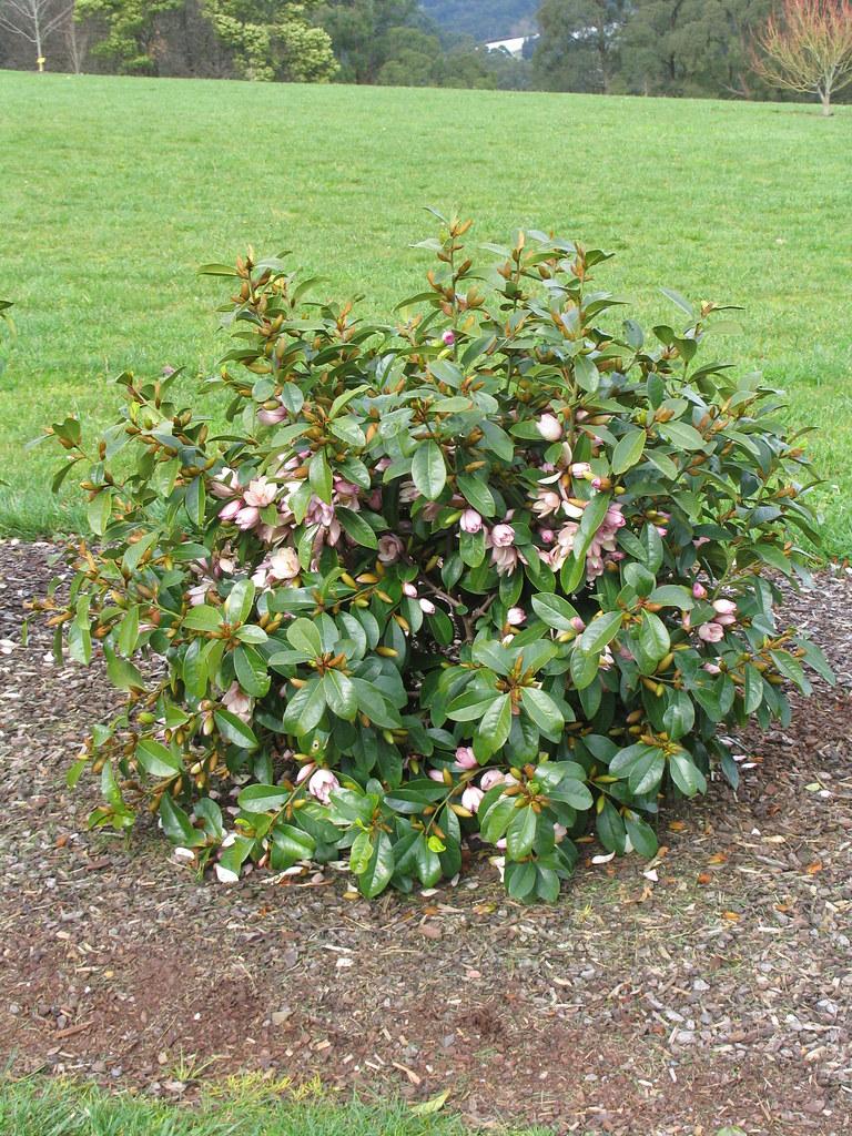 Fairy Magnolia Blush Shrub A Compact Shape Makes Fairy