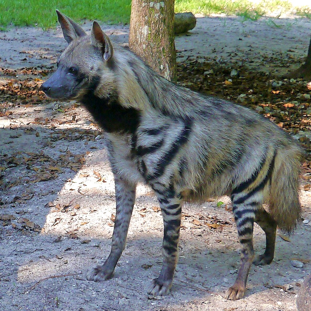 Striped hyena 2 saved by the us fish and wildlife for Us fish and wildlife service jobs