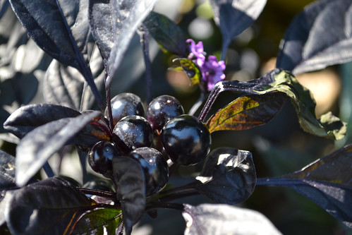 'Black Pearl' Pepper | by Brooklyn Botanic Garden