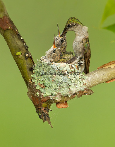 Ruby-Throated Hummingbird nest | by www.momentsinature.com